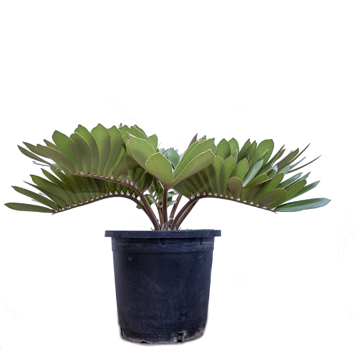 Zamia Furfuracea 'Indoor Plants'