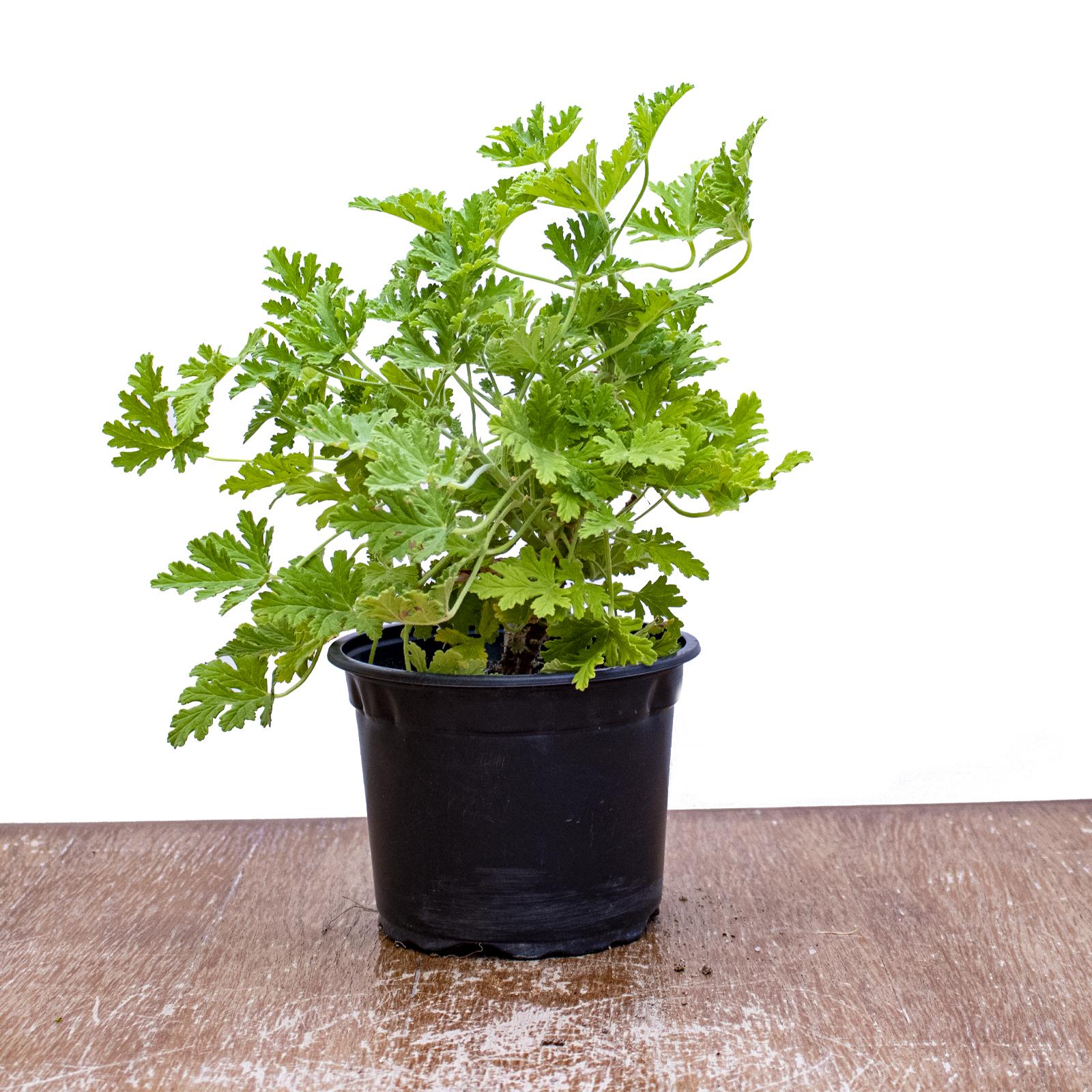 Pelargonium 'Indoor Plants'