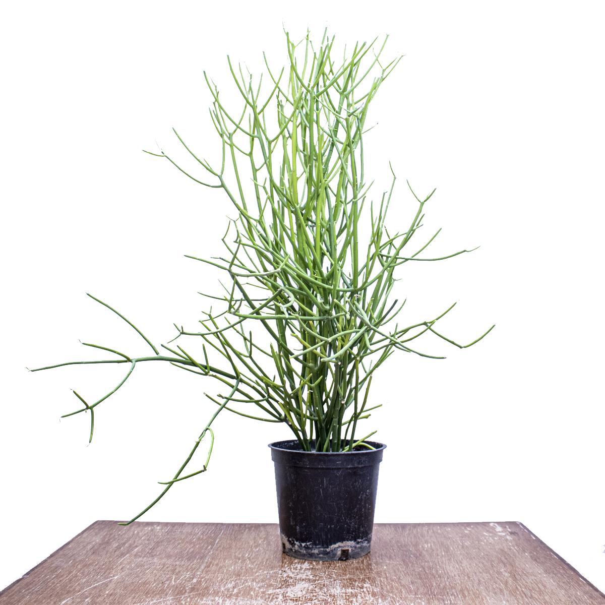 EuphorbiaTirucalli 'Indoor Plants'
