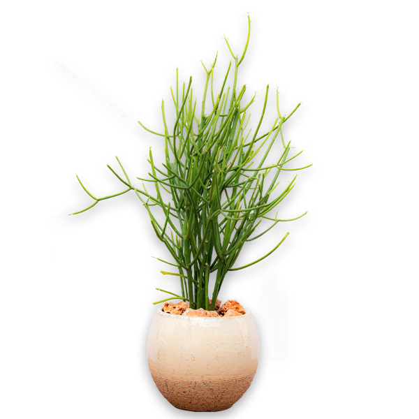EuphorbiaTirucalli  Indoor Plants