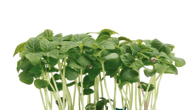 البيرلا - أخضر بذور