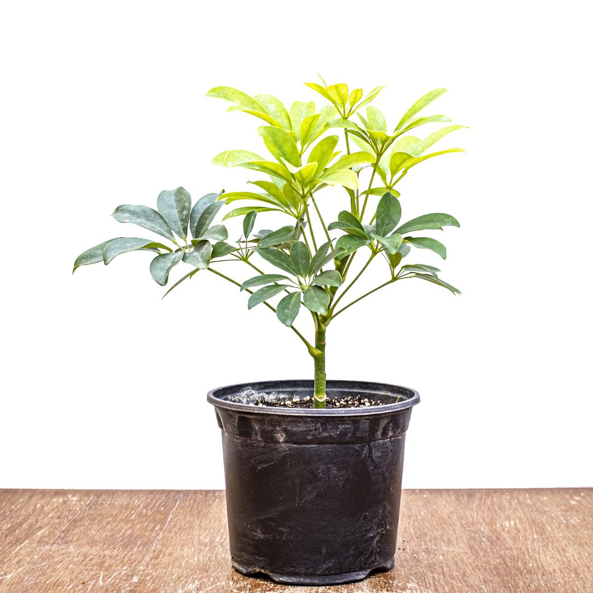 شيفليرا أربوريكولا نباتات داخلية