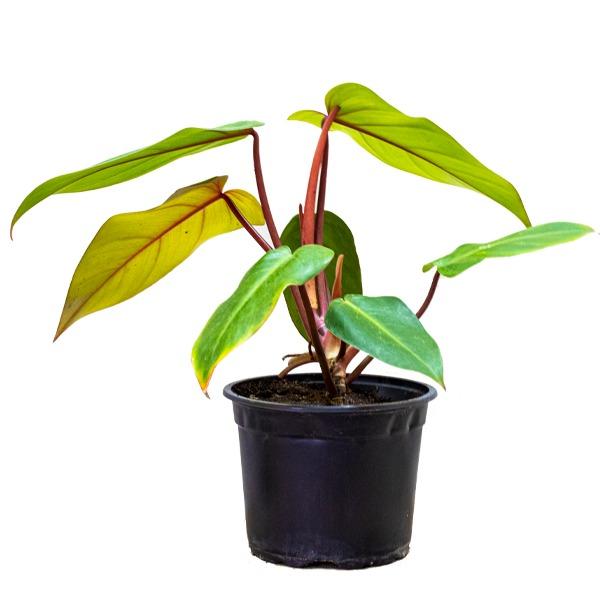 فيلوديندرون  الزمرد الأحمر نباتات داخلية