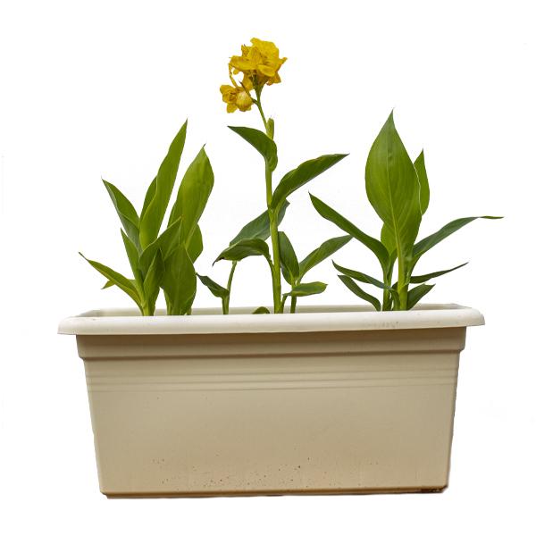 Canna Indica - Yellow  Indoor Plants