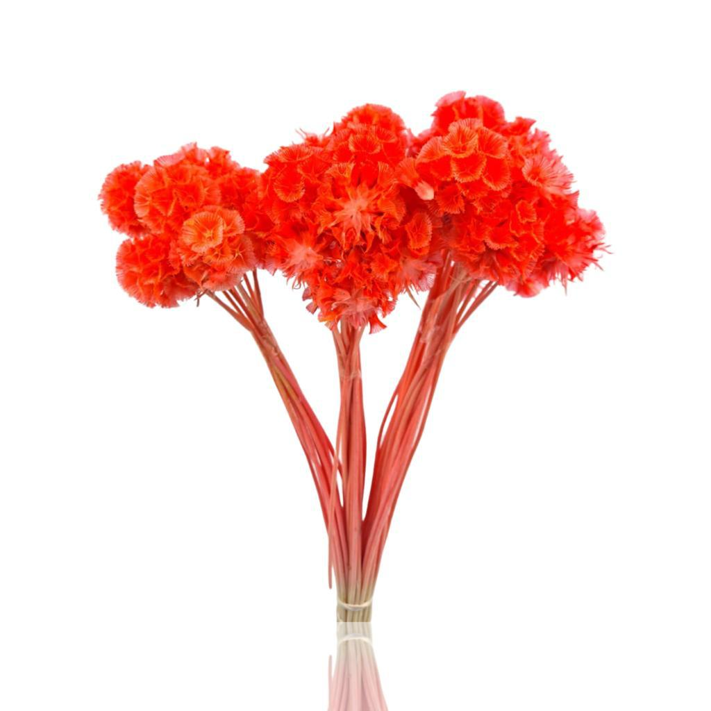 سكابيوزا مصبوغ - أحمر  الزهور بالجملة