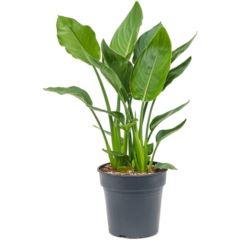 ستيرلايتزيا ريجينيا نباتات داخلية