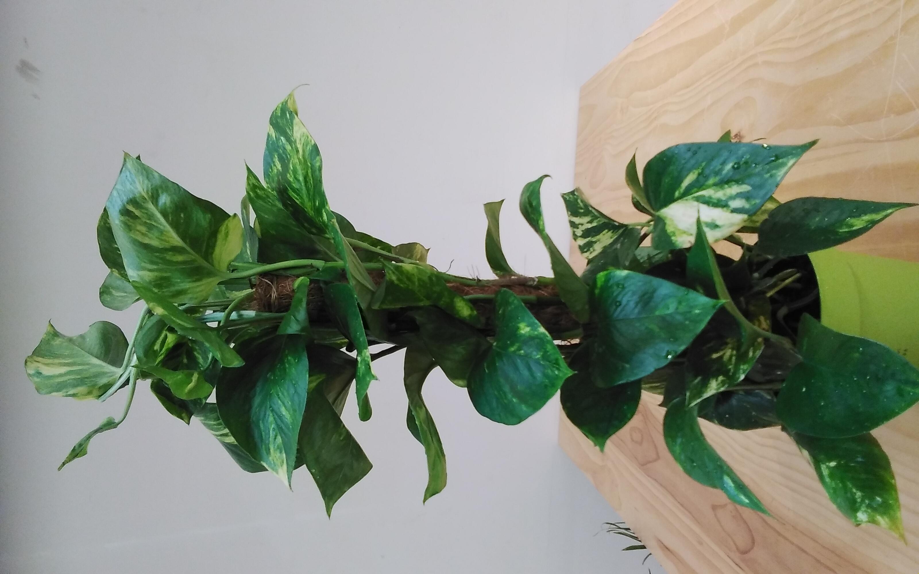 Epipremnum Pinn. Mosstick Indoor Plants