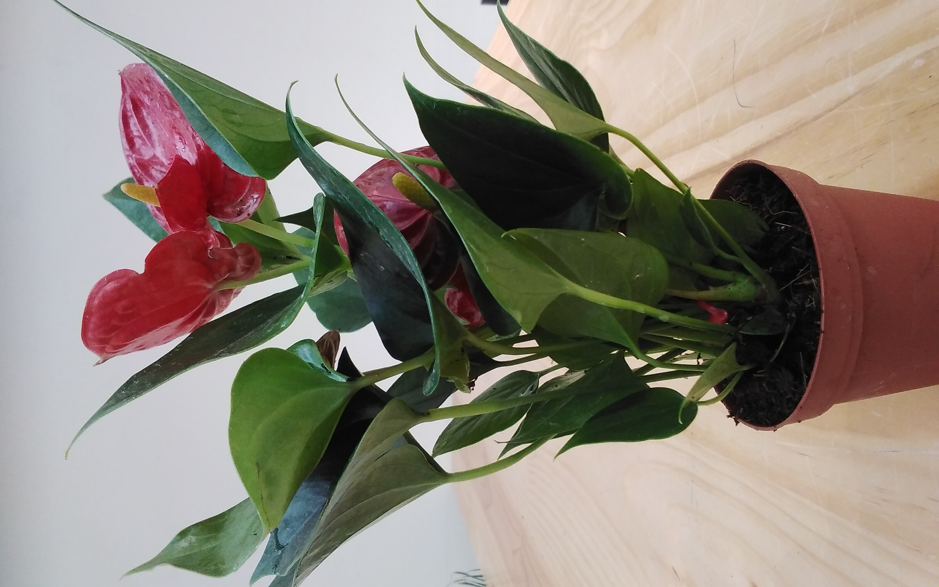 Anthurium A. Baby Arisa Red 'Indoor Plants'