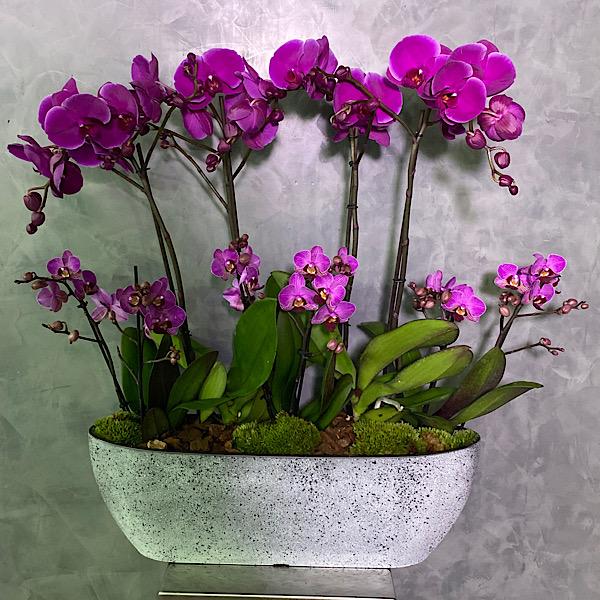 مزهرية خرسانية مع زهور الأوركيد الأرجواني التشكيلة الفخمة