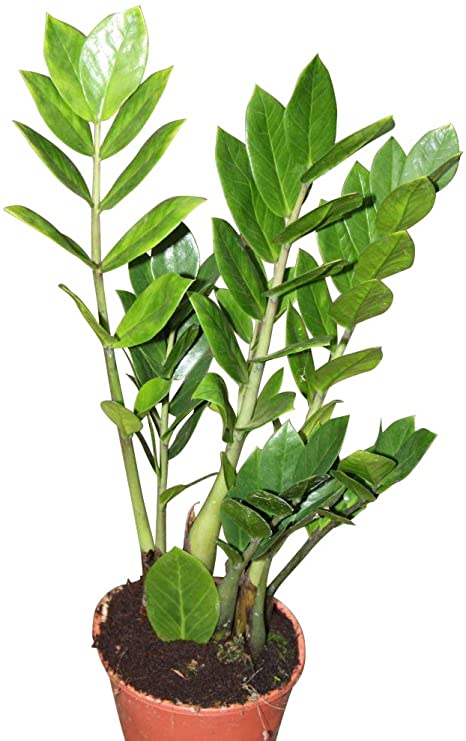 Zamioculcas  Indoor Plants