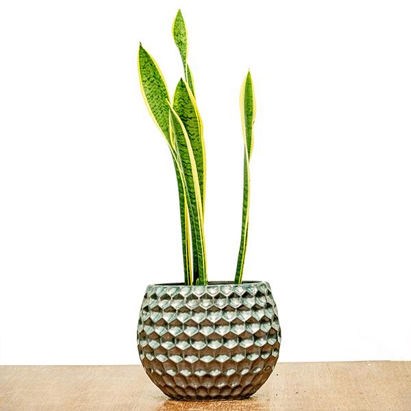 Sansevieria Trifasciata Laurenti Indoor Plants
