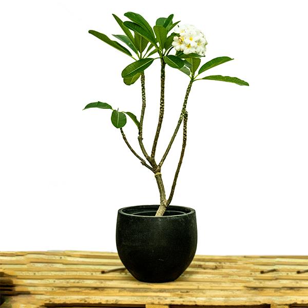 بلوميريا نباتات خارجية