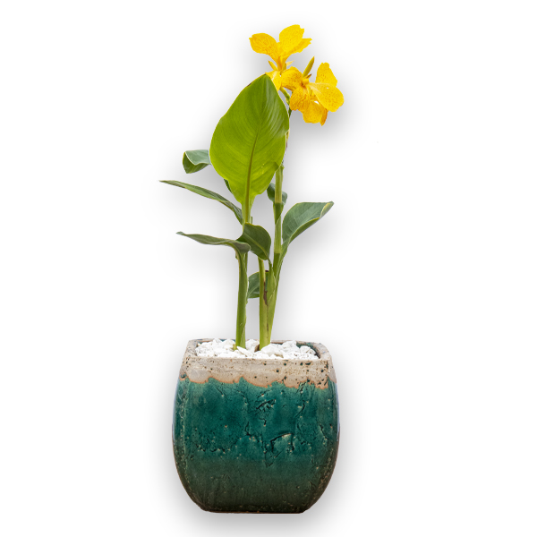 Canna Indica Small Yellow Indoor Plants
