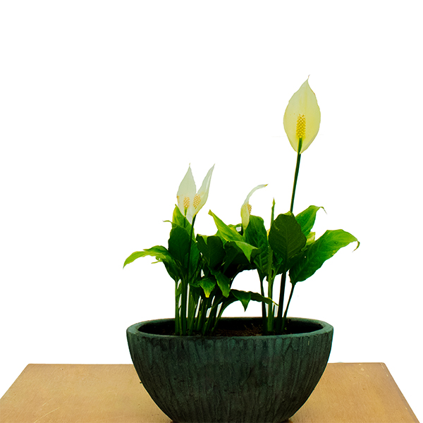 Spathiphyllum Cleveland -Peace Lily Indoor Plants