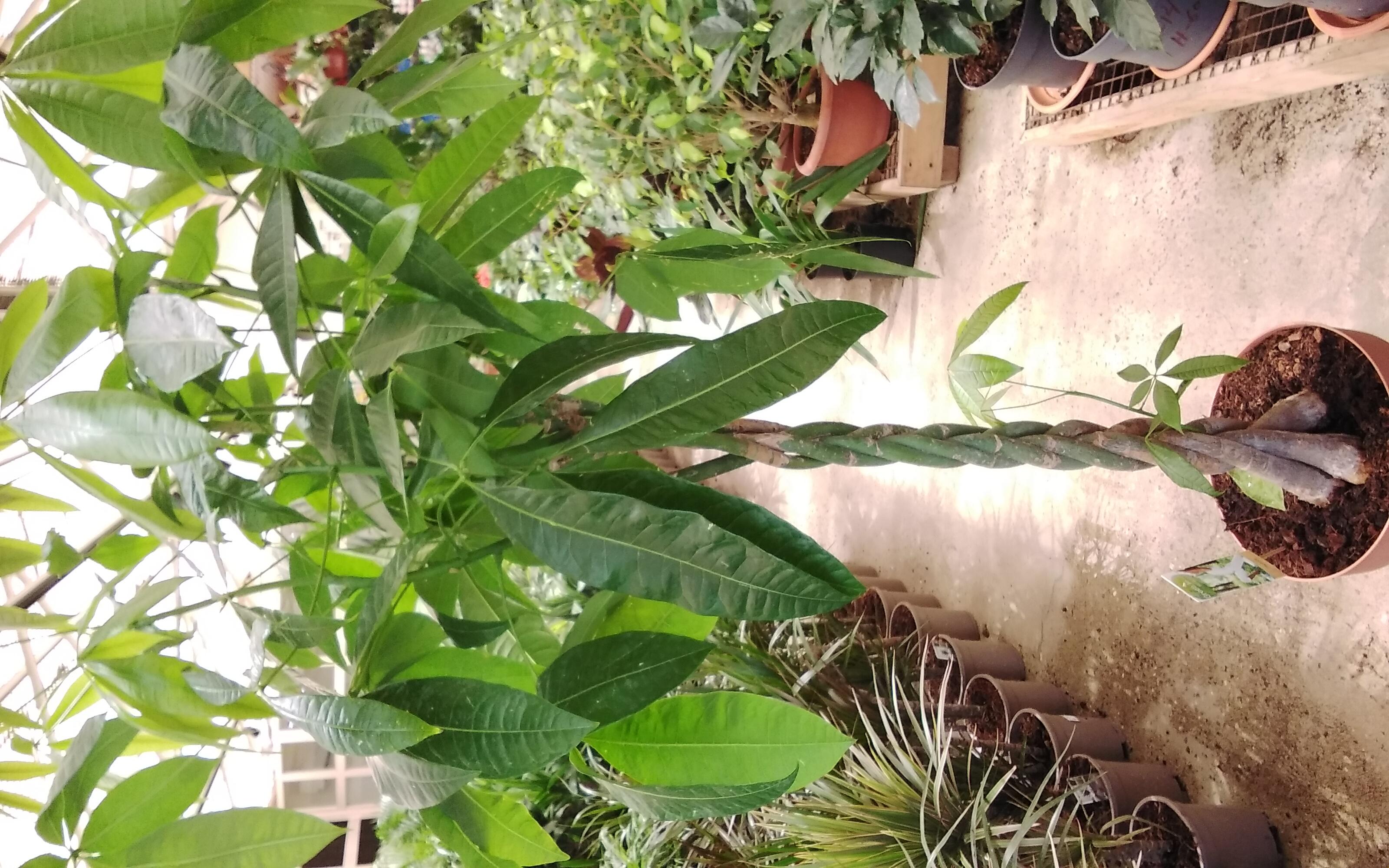 باتشيرا أكواتيكا مضفر نباتات داخلية