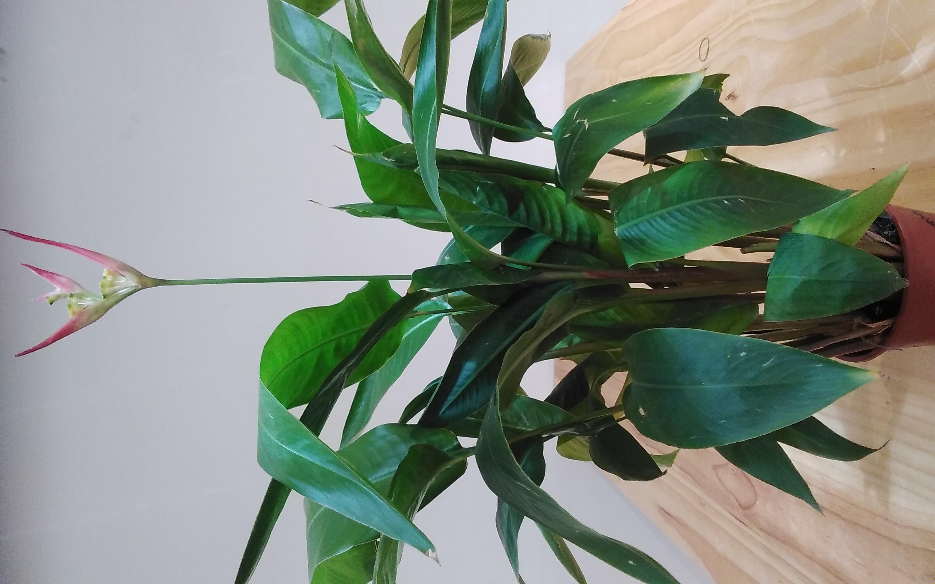 هيليكونيا 'نباتات داخلية'