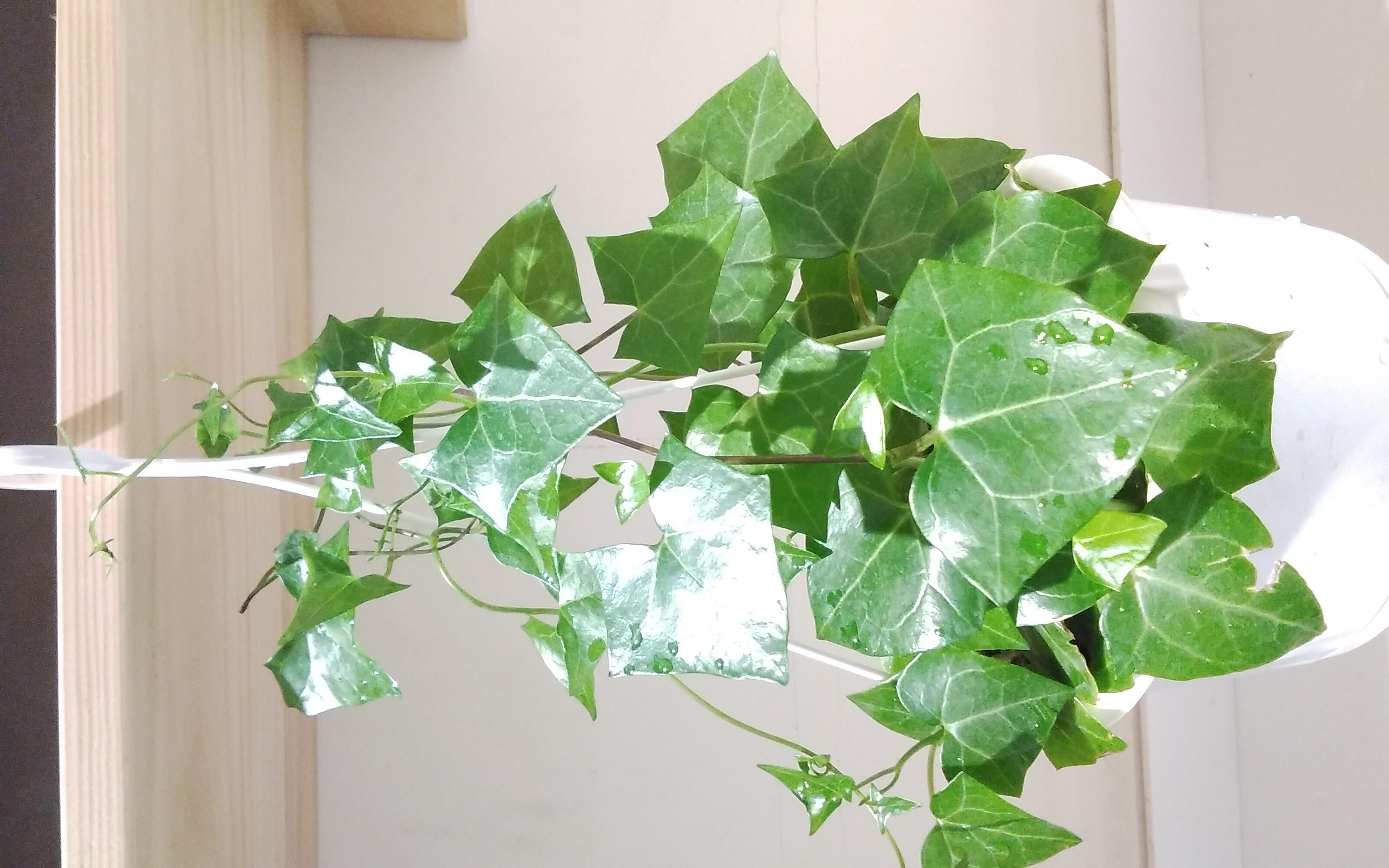 هيدرا هيلكس 'نباتات داخلية'