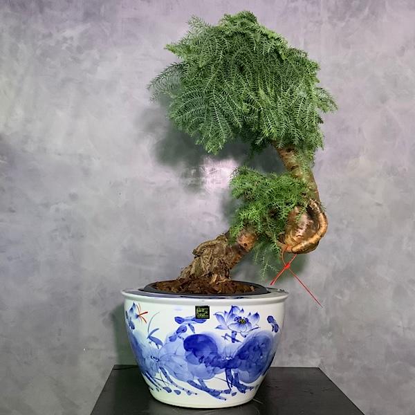 أراوكاريا كانينغامي بونساي التشكيلة الفخمة