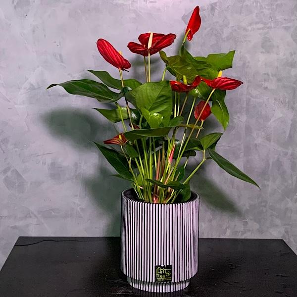 Anthurium Capi Planter Premium Collection