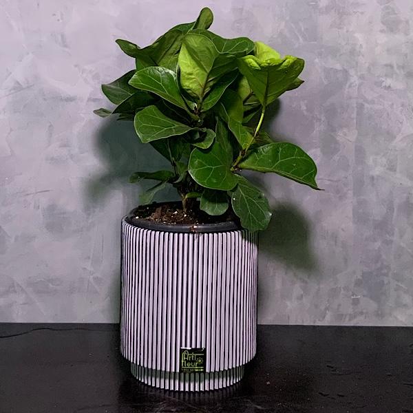 Ficus Lyrata Bambino Premium Collection