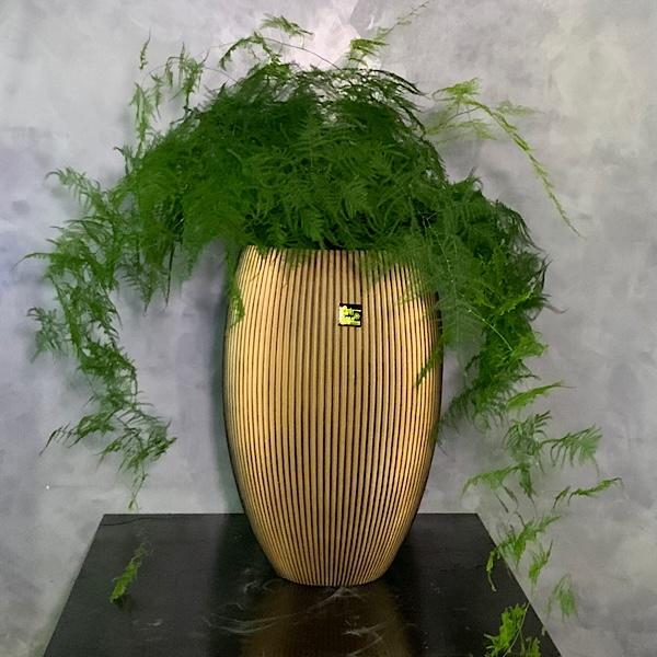 Asparagus Densiflorus Xxl Premium Collection
