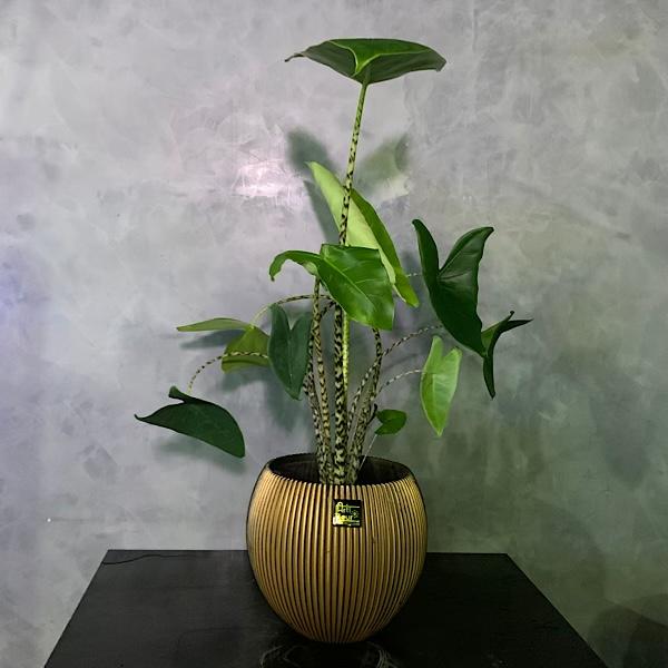Alocasia Zebrina Premium Collection