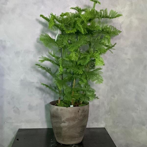 Araucaria Excaltata Premium Collection
