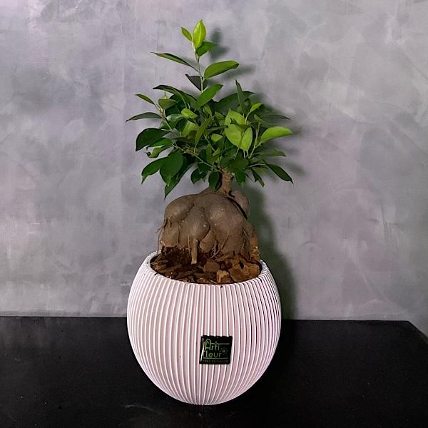 Ficus Bonsai Groove Premium Collection