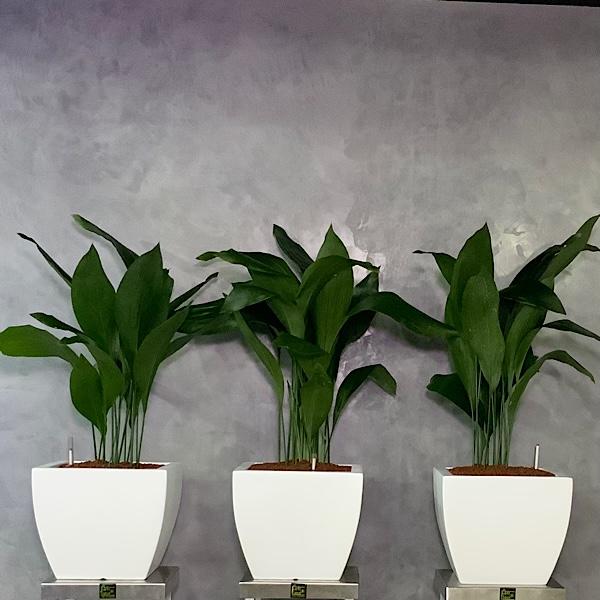 Aspidistra Trio Planters Premium Collection
