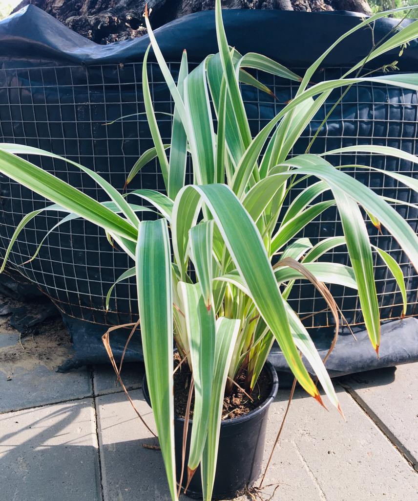 ديانيلا كيرولا نباتات خارجية