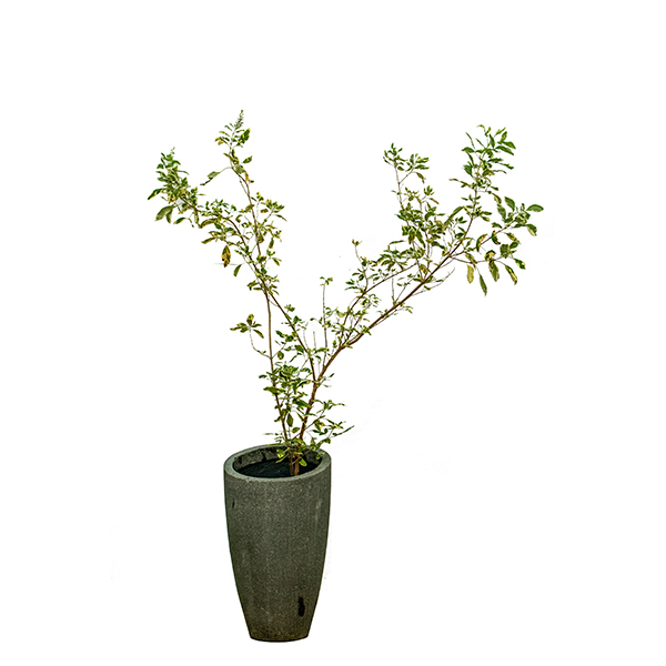 فيتيكس ترايفوليا فارييغاتا نباتات داخلية