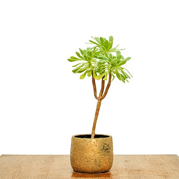 أيونيام أربوريام - أخضر نباتات داخلية