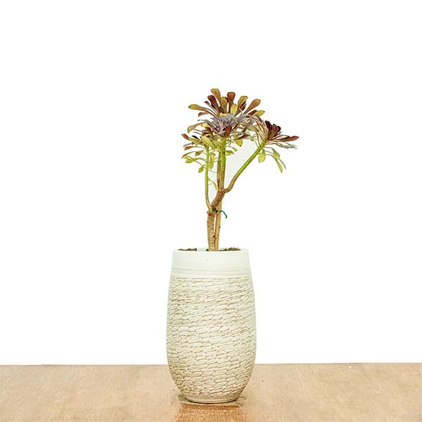أيونيام أربوريام - أحمر نباتات داخلية