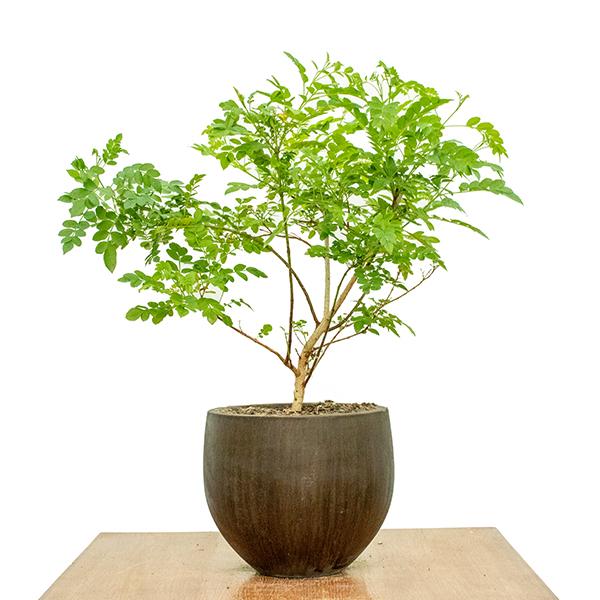 Tecomaria Capensis - Yellow Indoor Plants