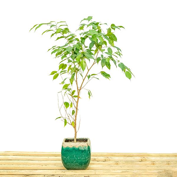 Ficus Benjmaina PLant - Small  'Indoor Plants'