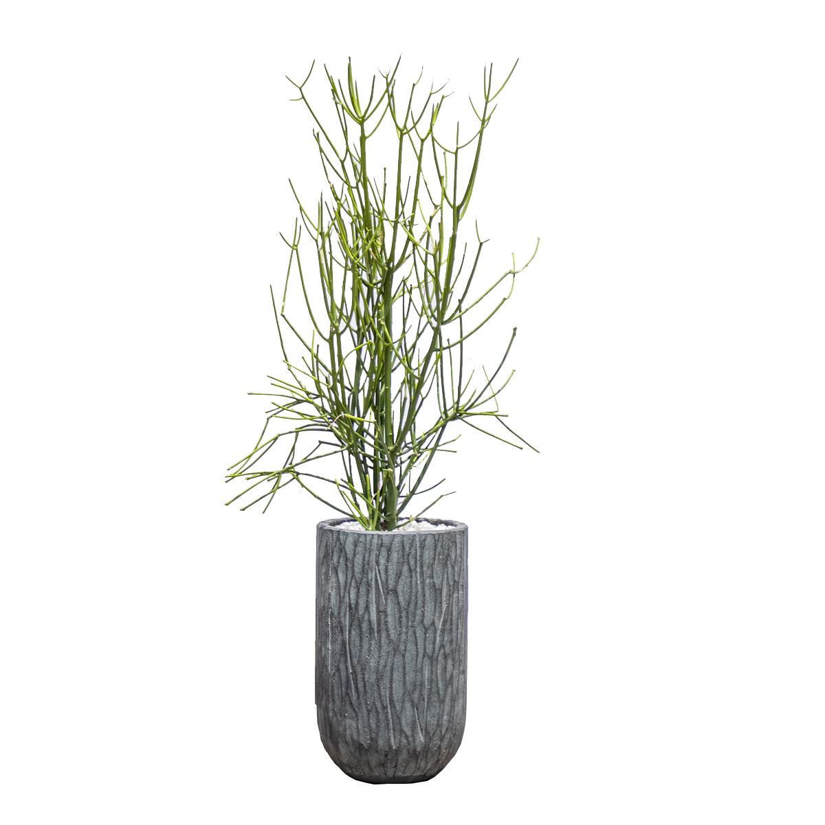 EuphorbiaTirucalli Plant Indoor Plants