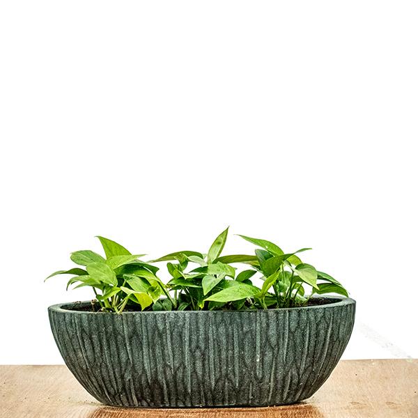 إبيبريمنام أوريام نباتات داخلية