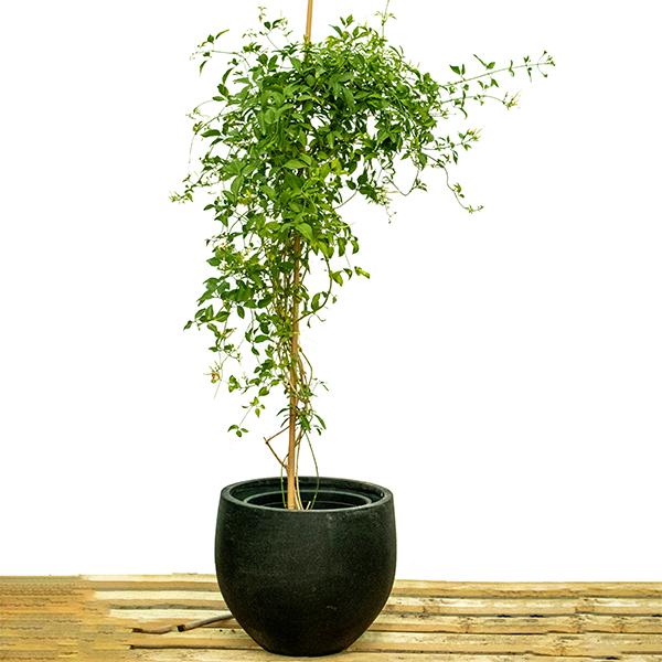 Creeping Jasmine Plant  Indoor Plants