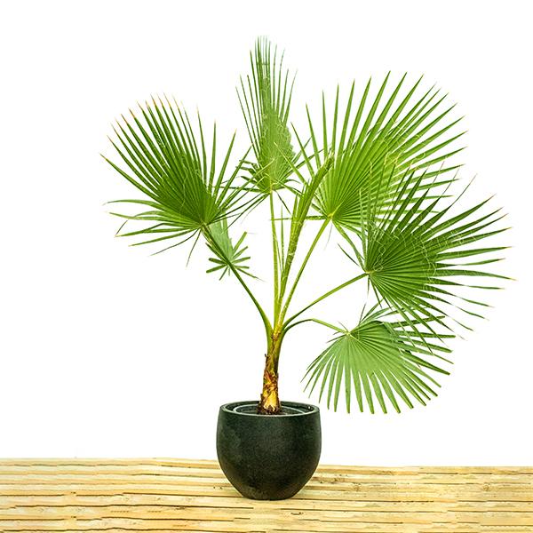 Washingtonia Robusta Plant Outdoor Plants
