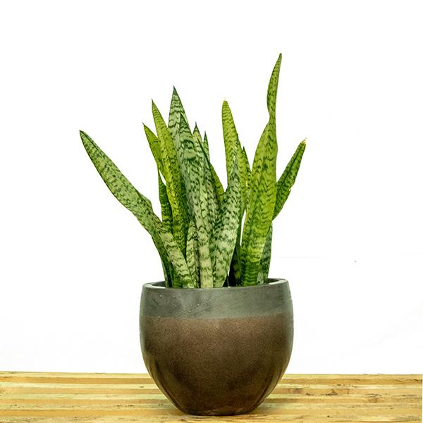 سانسيفيريا ترايفاسياتا أخضر نباتات داخلية