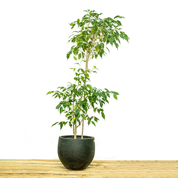 فايكس بينجيمينيا نباتات داخلية