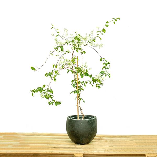 الجهنمية المتسلقة  نباتات خارجية