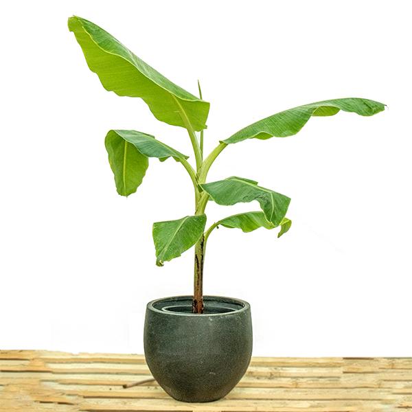 دوارف كافينديش شجرة الموز نباتات خارجية