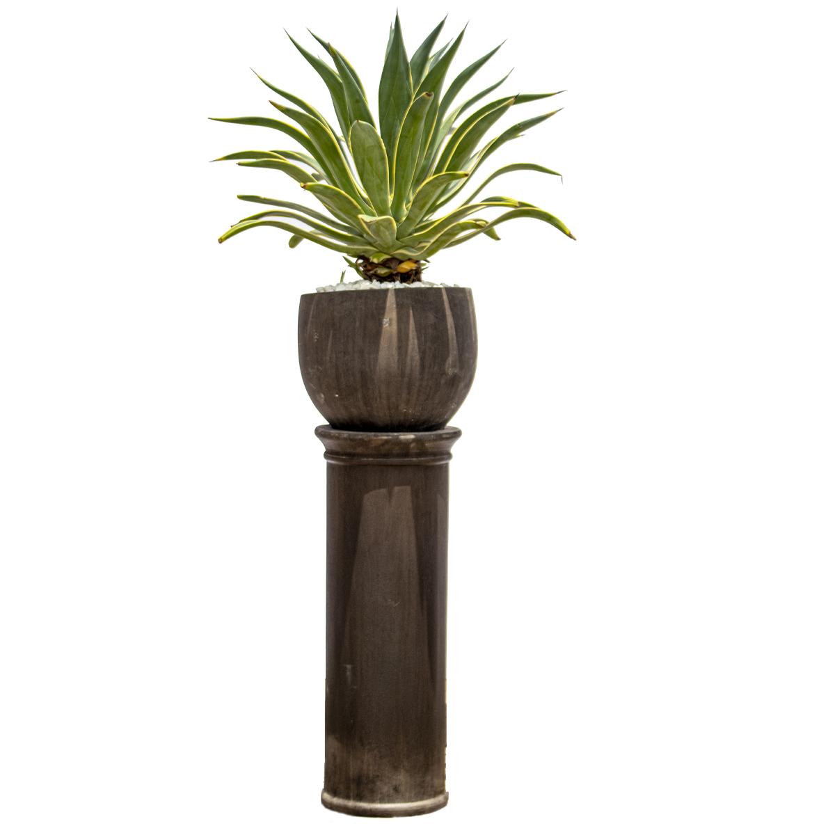 أغاف ديسميتيانا نباتات داخلية