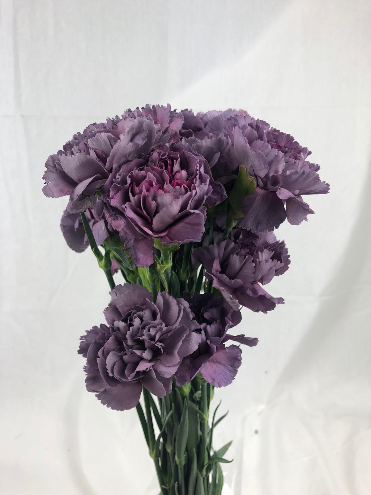 قرنفل - بنفسجي غامق  الزهور بالجملة