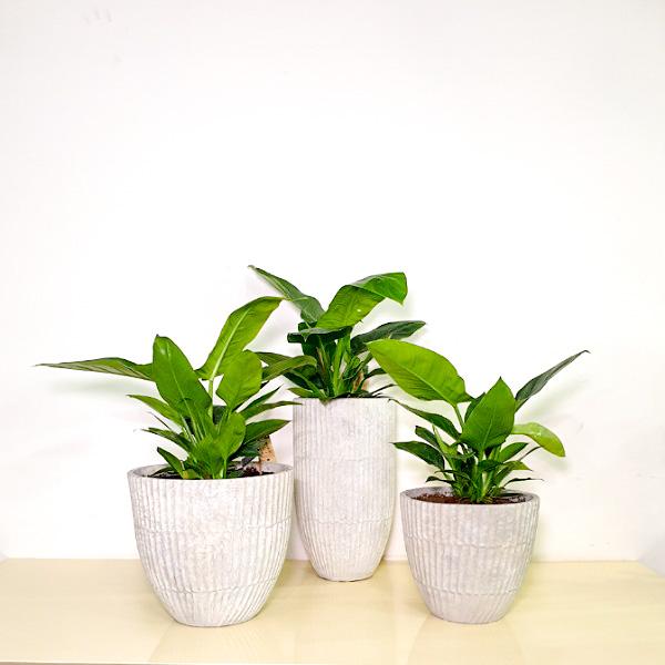 فيلوديندرون إمبريال - أخضر نباتات داخلية