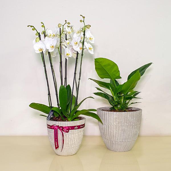 زهور الأروكيد والفيلوديندرون  التشكيلة الفخمة