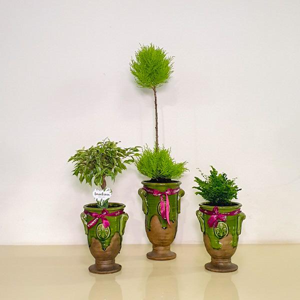 نباتات السرو التشكيلة الفخمة