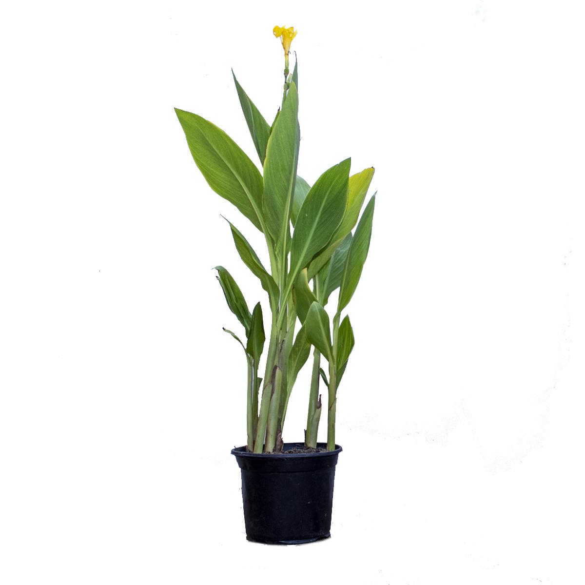 كانا إنديكا صغيرة - أصفر  نباتات داخلية