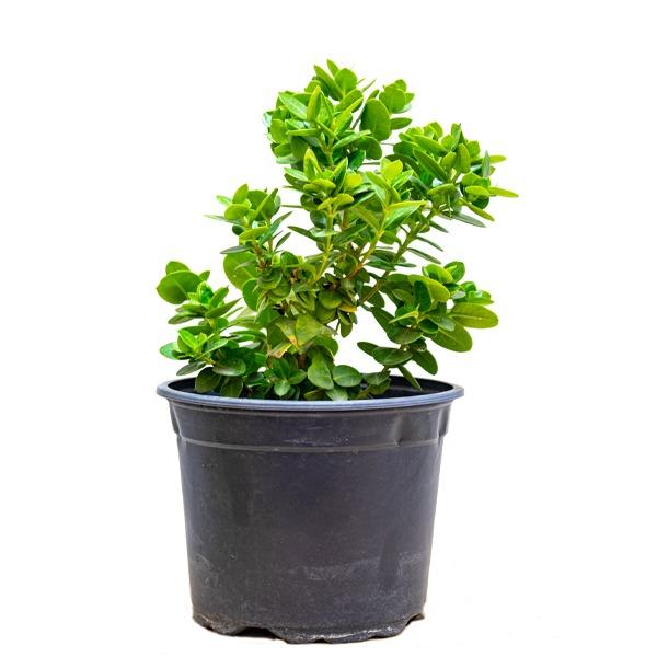 كاريسا بوكسوود بيوتي - صغير نباتات داخلية